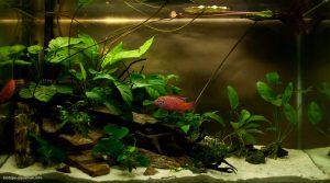 Анубиас в аквариуме