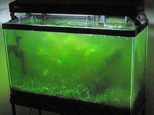 Колония водорослей