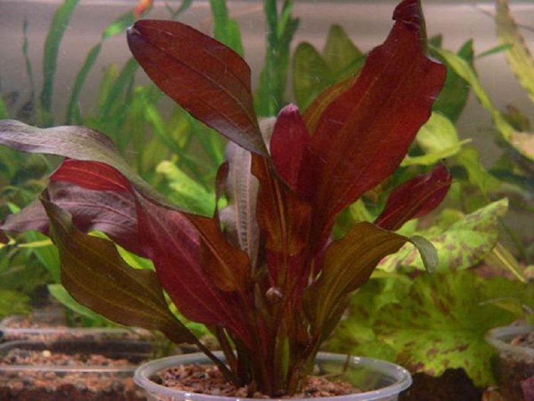 Растение аквариумное Эхинодорус Регина