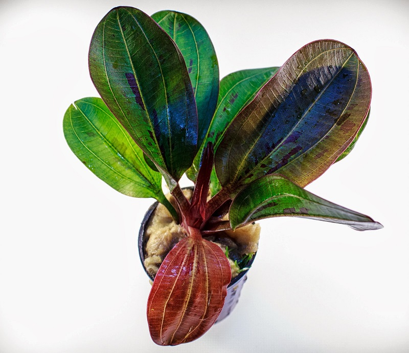 Эхинодорус красная жемчужина