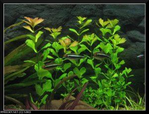 Мексиканский дубок в аквариуме