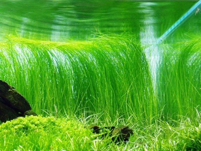 Аквариумное растение элеохарис живородящий