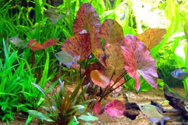 Стеллата нимфея тигровая аквариумное растение