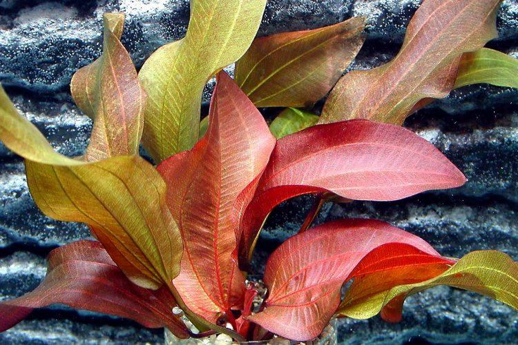 Содержания растения в аквариуме
