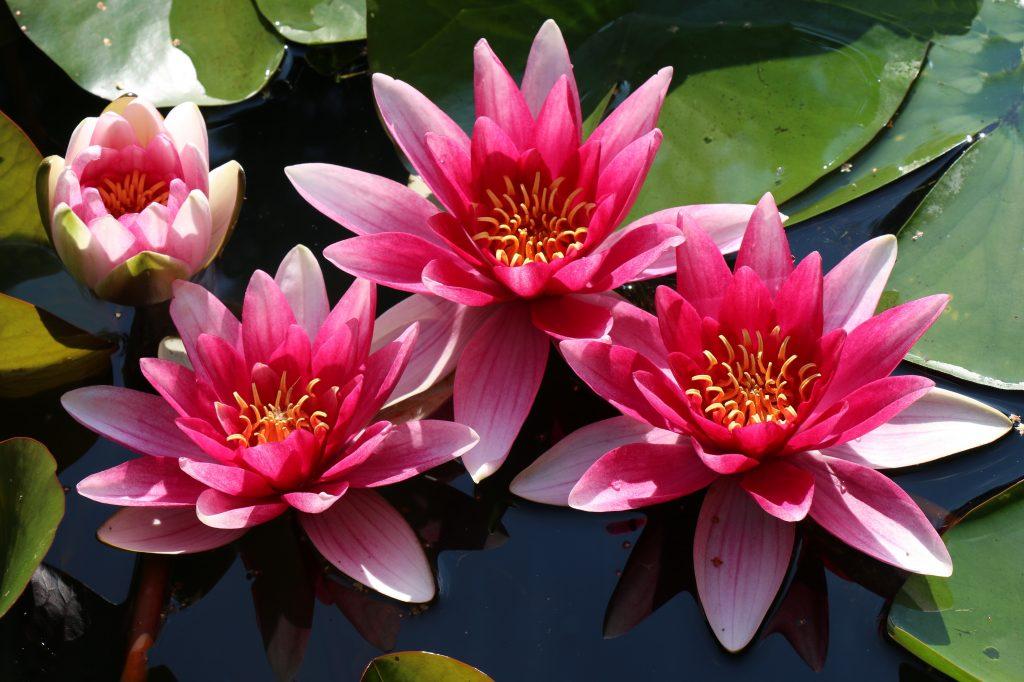 Цвететние кувшинки