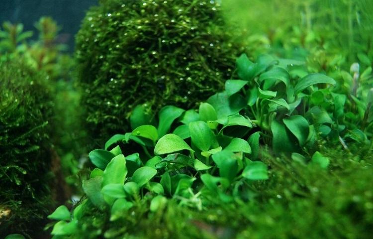 Растение Анубиас нана