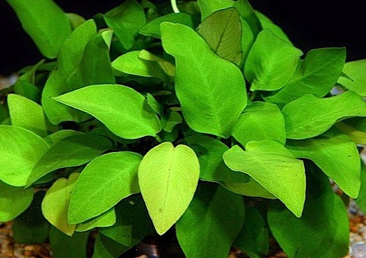 Растение Папоротник Анубиас