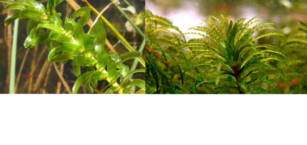 Сравнение листьев Элодеи и Эгерия