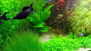Криптокорина люценс в аквариуме