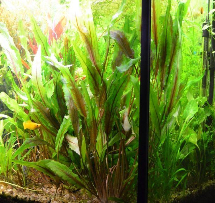 Содержание в аквариуме криптокорина зеленый геккон