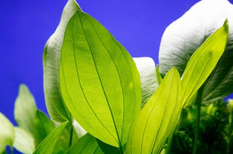 Растение эхинодорус аргентинский