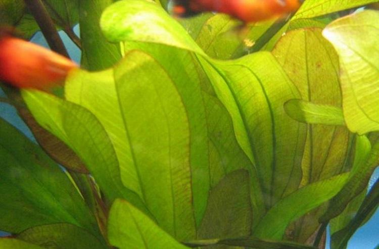 Растение Эхинодорус глаз дьявола
