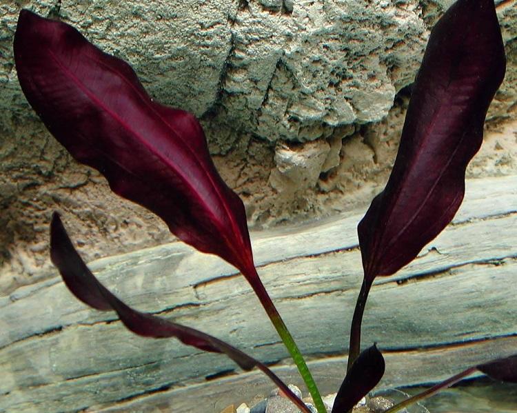 Растение Эхинодорус красный
