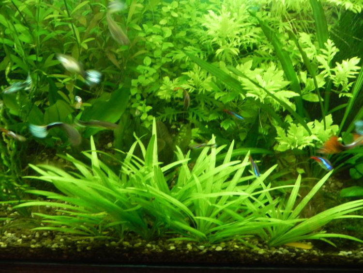 Кусты эхинодоруса квадрикостатуса в аквариуме