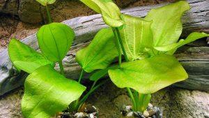 Растение эхинодорус сердцелистный