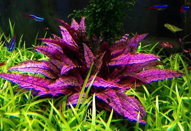 Растение Криптокорина Вендта Фламинго