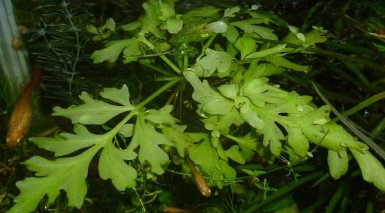 Растение Папоротник крыловидный.