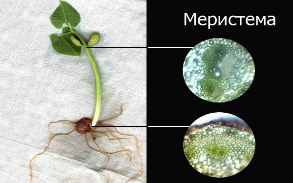 Меристемные клетки растения