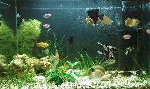 Содержание роголистника в аквариуме