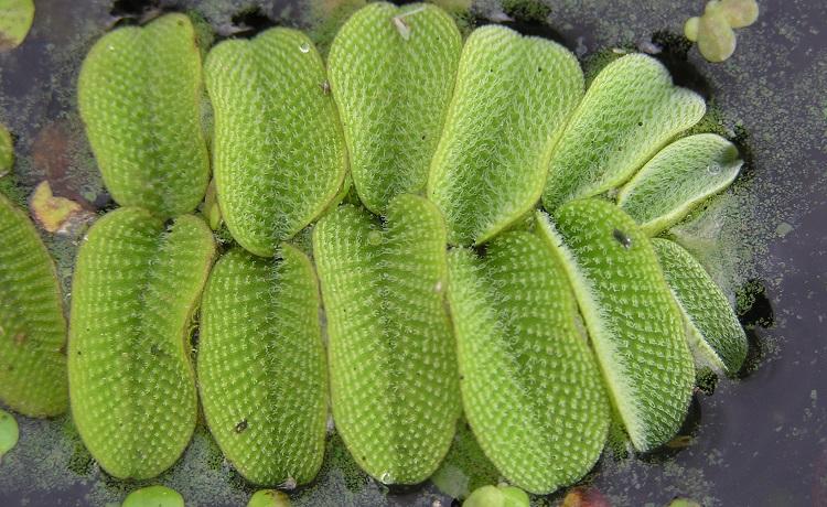 Растение Папоротник Сальвиния