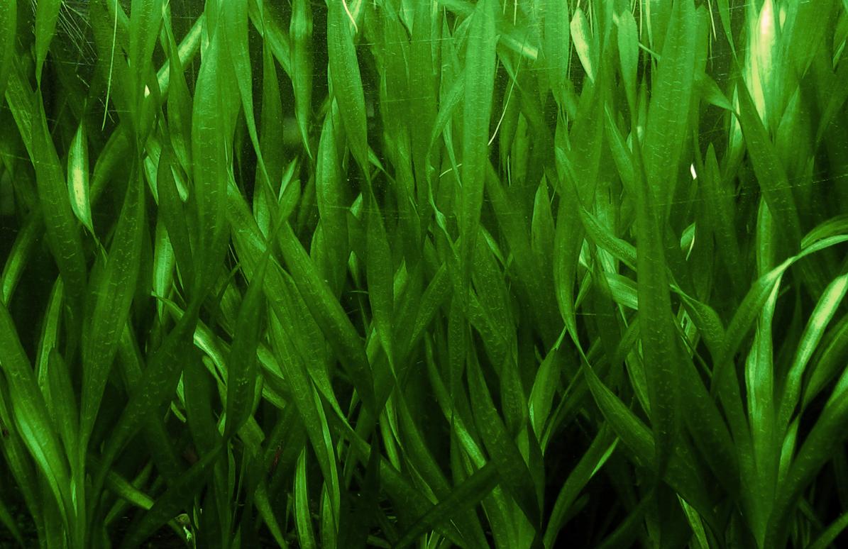 Растение валлиснерия