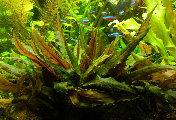 Растение криптокорина Вендта Тропика