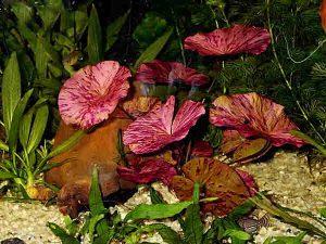 Вид водоросля