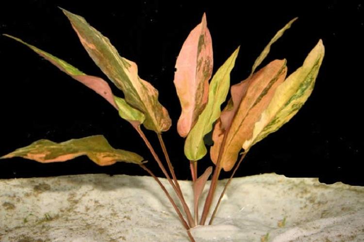 Растение Криптокорина Вендта Закат Флориды