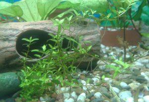Аквариумные растения с воздушными корнями
