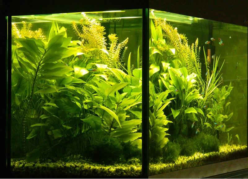 растения заднего плана для аквариума