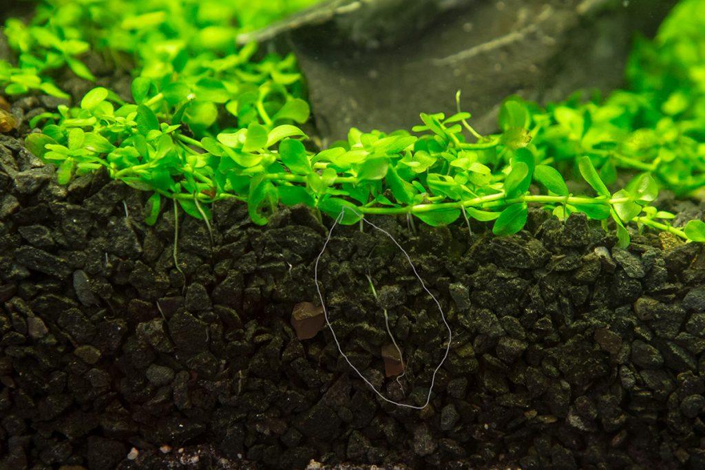 монте карло растение аквариумное