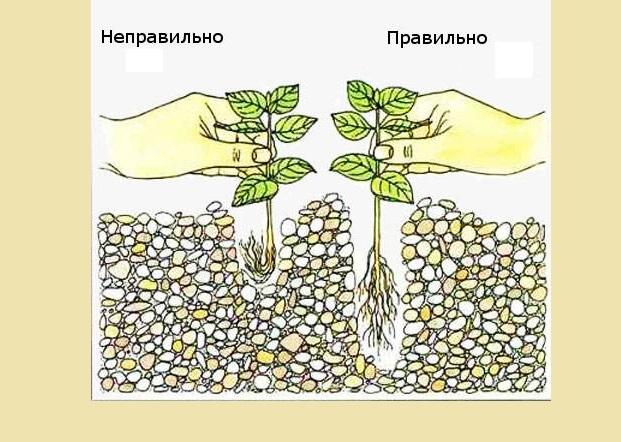 Высаживание аквариумных растений